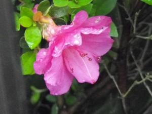 azalea mutation