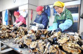 Oyster in North Japan grow as double as average