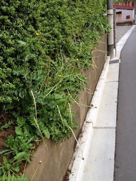 Mutated dandelions in Funabashi Chiba