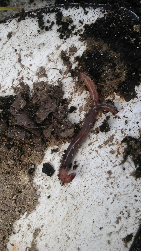 Double-headed worm in Miyagi