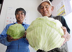 Cabbages grew 4 times bigger than usual in Oita