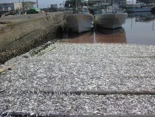 A few tens of tones sardines washed up on fishing port in Chiba2