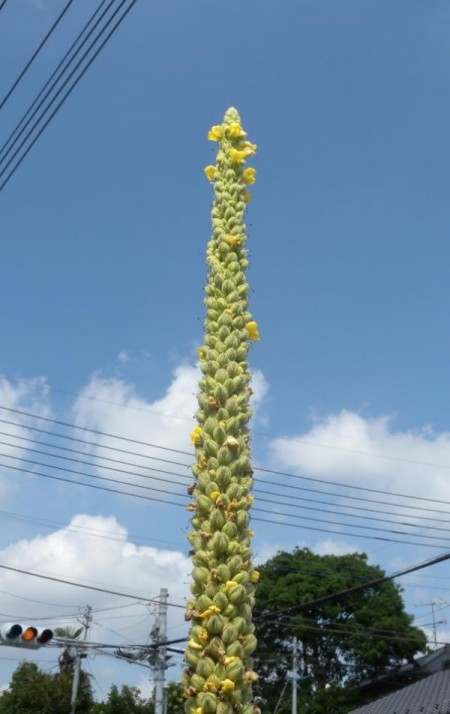Deformed plants in South Ibaraki3