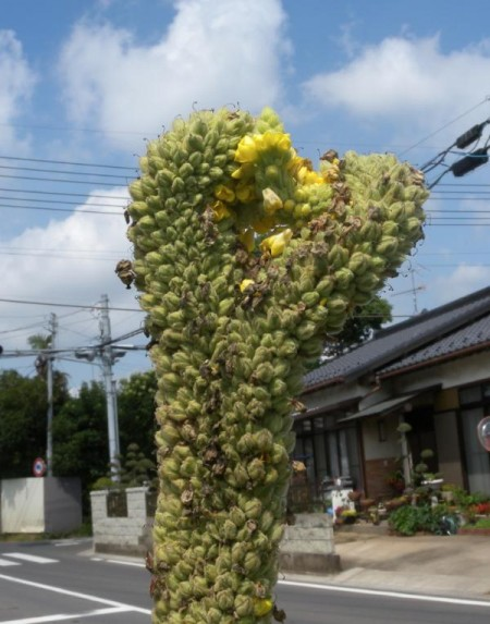 deformed plants south ibaraki