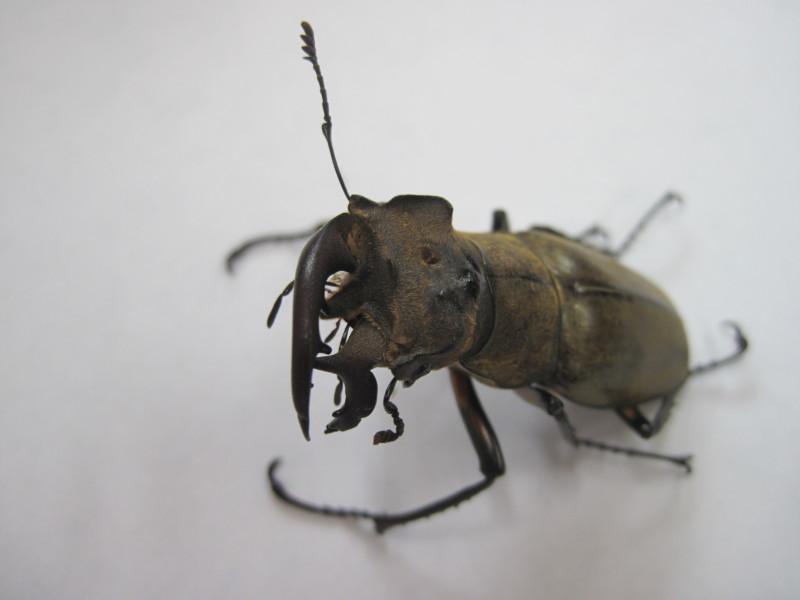 Deformed stag beetle in Tokyo
