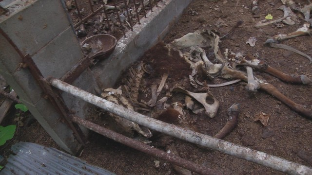 Dog survived with the dried meat sticking around the bone of dead cattle, 12km area 9