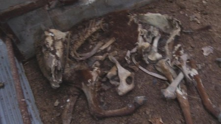 Dog survived with the dried meat sticking around the bone of dead cattle, 12km area 8