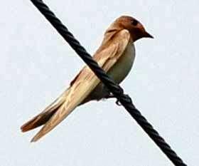 Albino swallow found in Gunma, 227 km from Fukushima