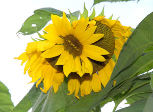 Proliferated sunflower in Yamagata