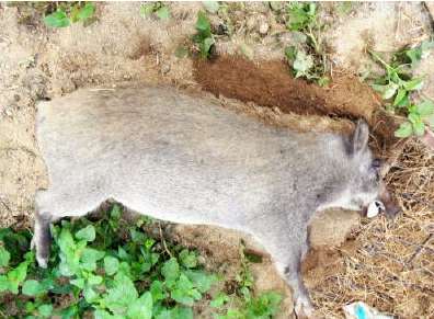 White wild boar found in Saga prefecture