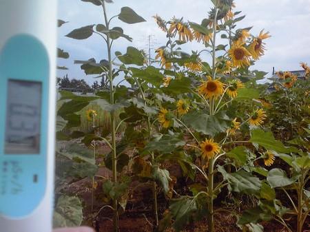 Group of mutated sunflowers found in Misato city Saitama 3