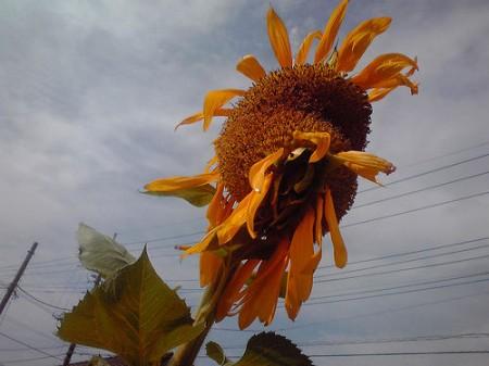 Group of mutated sunflowers found in Misato city Saitama