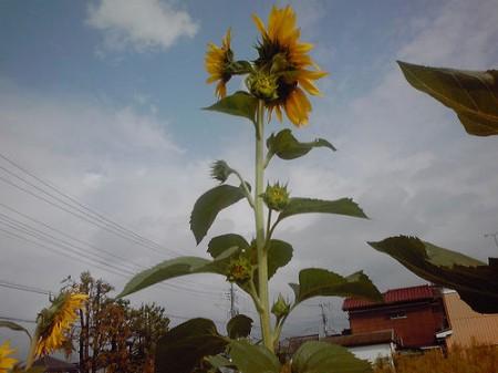Group of mutated sunflowers found in Misato city Saitama 2