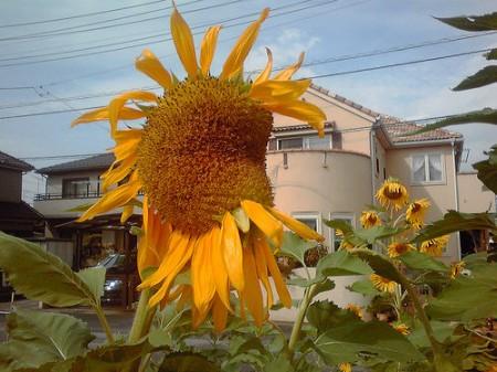Group of mutated sunflowers found in Misato city Saitama 4