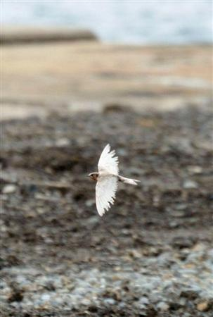 White swallow found in Nagasaki