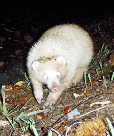 Albino badger found in Fukui