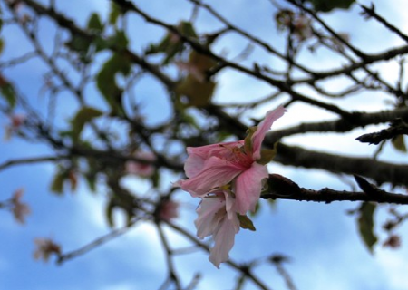 Chiba cherry blossoms blooming in Autumn too