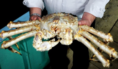 "Large and white ""red"" king crab found in Hokkaido"