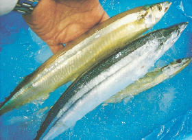 2 golden saury from Iwate