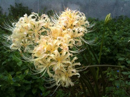 White cluster‐amaryllis found in Ehime