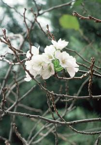 "Cherry blossom bloomed in Tokyo, ""It's still Autumn"""