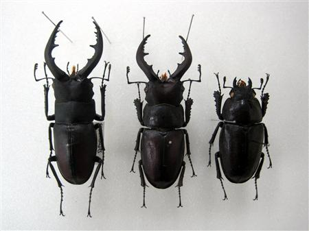 "Mutated stag beetle of male head with female body, ""Probably the first case in Japan"""