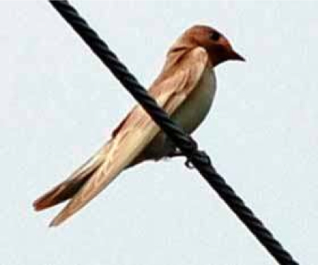 [Yablokov report about Chernobyl] Albino ratio of swallow jumped up in Ukraine 3