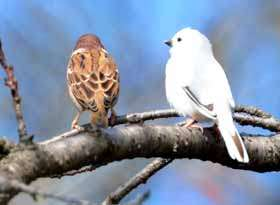 White sparrow found in Gunma