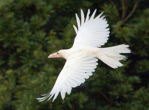 [Albino] White crow found in Ohda city Shimane