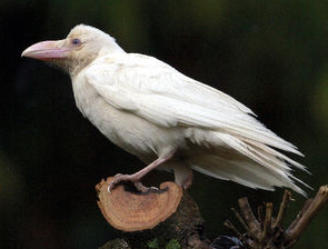 [Albino] White crow found in Ohda city Shimane 2