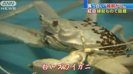 [Albino] White snow crab was found in Fukui