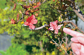 Azalea bloomed in October in Hokkaido with dead leaves