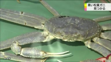 [Albino] Blue snow crab found in Tottori