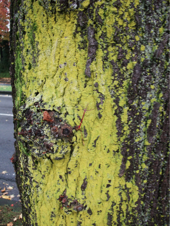 Yellow substance stuck to street trees in Ibaraki 1