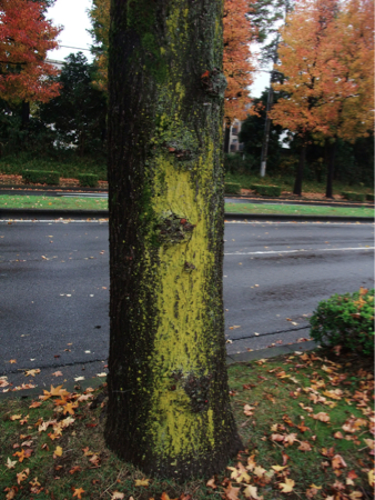 Yellow substance stuck to street trees in Ibaraki 2