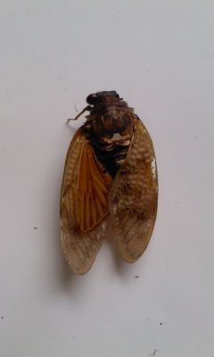 5 [Mutation] Cicada with a leg on its head, white external tumor on abdomen, deformed wings