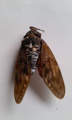 1 [Mutation] Cicada with a leg on its head, white external tumor on abdomen, deformed wings