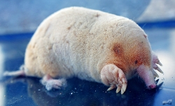 [Albino] A White mole was found in Wakayama