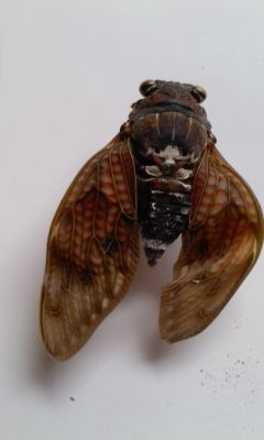 4 [Mutation] Cicada with a leg on its head, white external tumor on abdomen, deformed wings