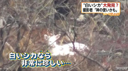 [Albino] White deer-looking animal found in Hyogo