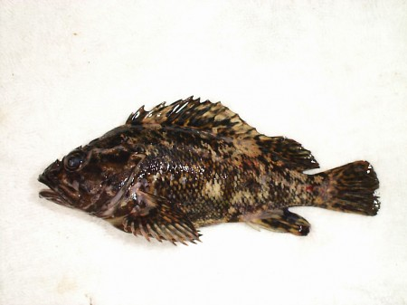 "142,000 Bq/Kg from rockfish in Fukushima nuclear port, ""1420 times much as safety limit"""
