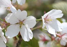 2 [Express] Cherry blossom is already deformed in front of the MEXT building