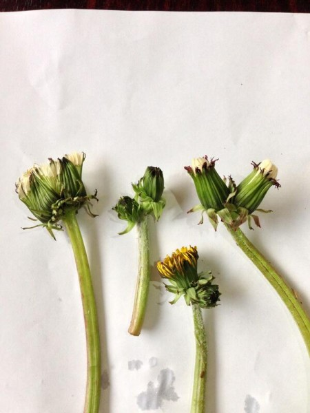 [Nothing to do with radiation] Multiple headed dandelions found in Tokyo again