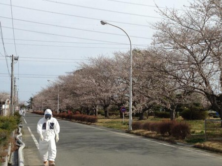 Cherry blossoms blooming in Fukushima nuclear plant