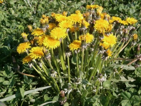 [Not radiation effect] Densely growing mutated dandelions in Minamisoma