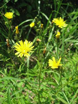 2 [Not Radiation Effect] Mutated hawkweed oxtongue found in Tokyo