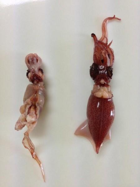 2 [Not Radiation Effect] Deformed firefly squid found in Toyama, west coast of Japan