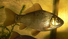 2 32 Bq/Kg from natural crucian carp in Saitama
