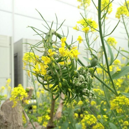 [Not radiation effect] Uniquely shaped Brassica juncea in Metropolitan area