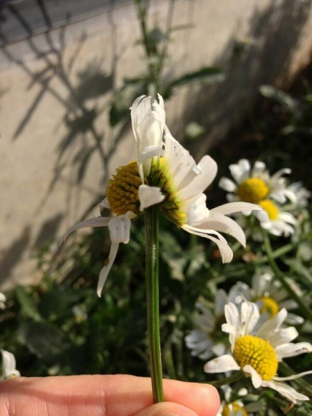 [Not radiation effect] Interestingly shaped marguerite in Daikan-yama Shibuya Tokyo